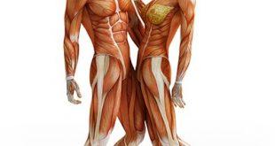 دانلود مجموعه مقالات پاورپوینتی آناتومی بدن انسان (36 فایل) کسب در آمد پزشکی