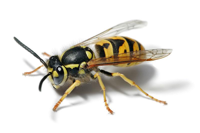 800px-European_wasp_white_bg.jpg