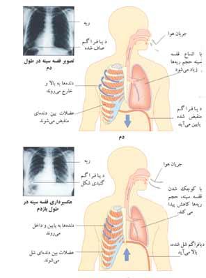 http://www.boali.com/atlas/images/respiratory_system-s2.jpg