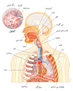 http://www.boali.com/atlas/images/respiratory_system-s1.jpg